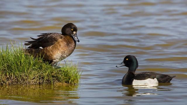 Reiherenten-Paar in einem See.