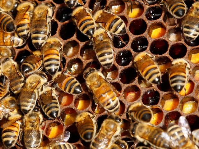 Bienen bei der Arbeit auf den Waben.