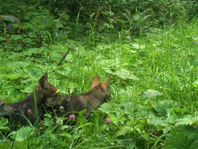 Drei Wolfswelpen