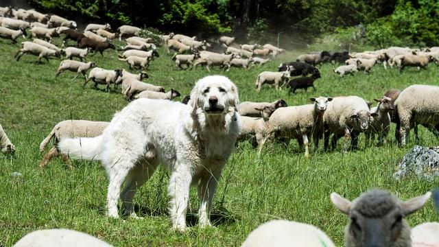 Ein Hund in einer Schafherde.