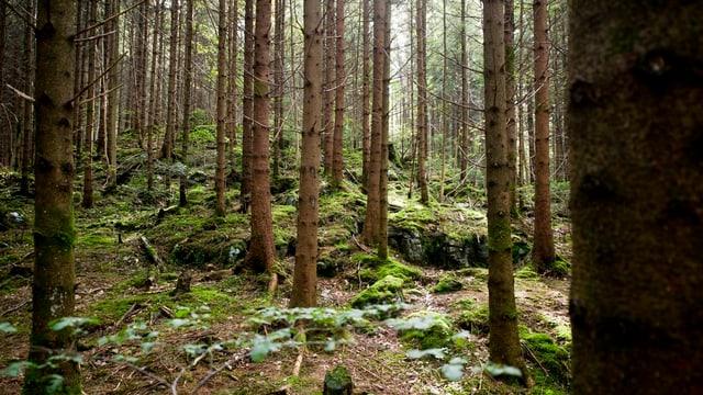 Nadelhölzer in einem Wald im Kanton Schwyz.