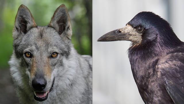 Wolf und Saatkrähe im Porträt