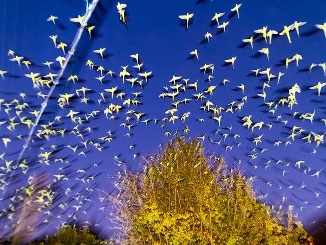 gelbe Vögel vor blauem Himmel