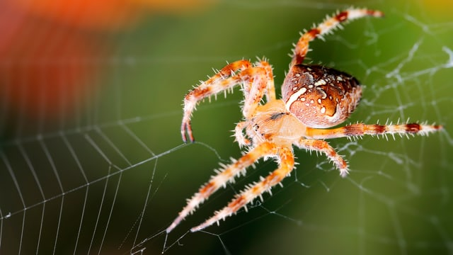 Eine Spinne sitzt im Netz.