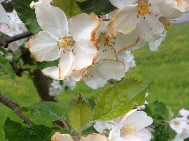 Schäden an Obstblüten