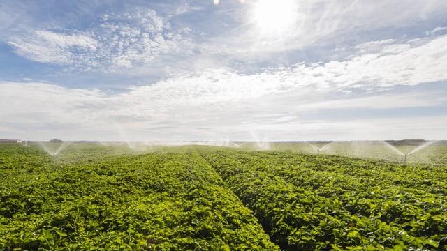 Erdbeerfeld wird bewässert.