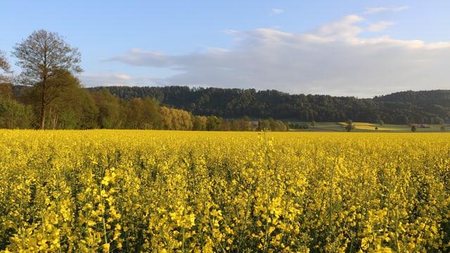 Blick über ein gelbes Rapsfeld.