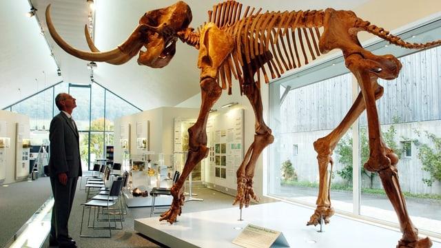 Eine Mann betrachtet im Mammutmuseum in Niederweningen eine lebensgrosse Kopie eines Mammutskeletts.