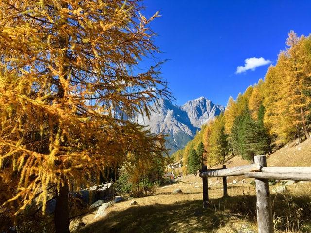 Goldgelb gefärbte Lärchen im Unterengadin. Die Wiesen neben dem Wanderweg sind braun, der Himmel ist tief blau.