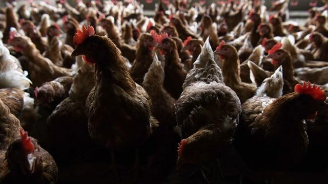 Braune Hühner in einem Stall.