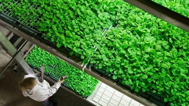 Eine Tabakfarm im US-Bundesstaat Kentucky. Frau bereitet Setzlinge vor.