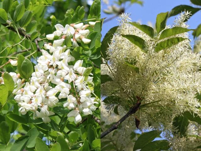 Akazie / Blumenesche