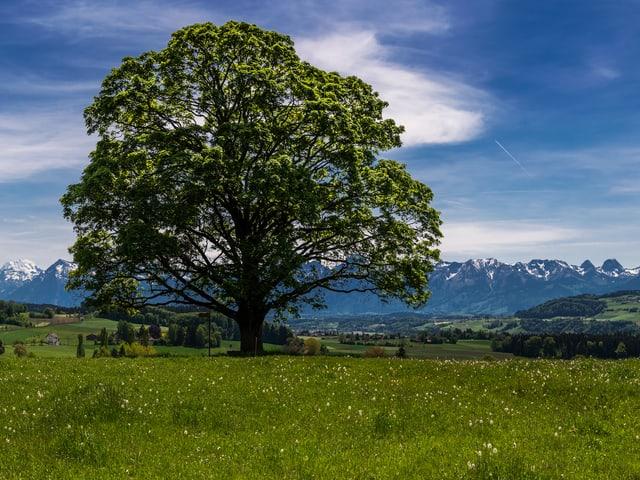 Ein grosser Baum vor der Kulisse der Berner Alpen.