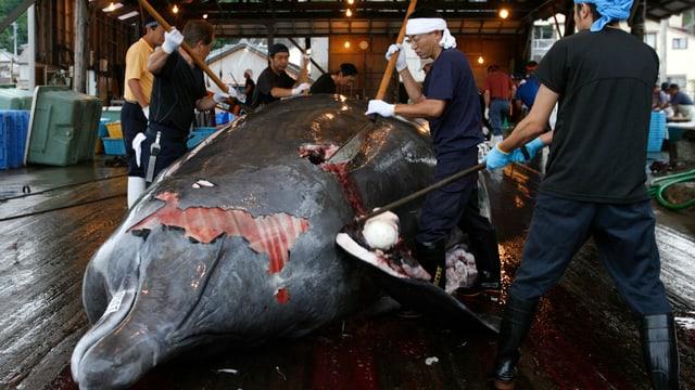 Ein toter Wal wird von mehreren Männern zerlegt.