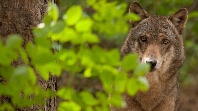 Wolf in einem Wald