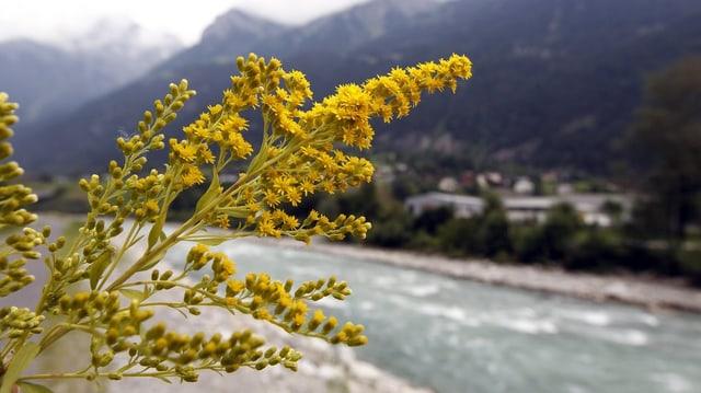 Eine längliche gelbe Pflanze im Vordergrund, dahinter ein Fluss und verschwommen Berge.