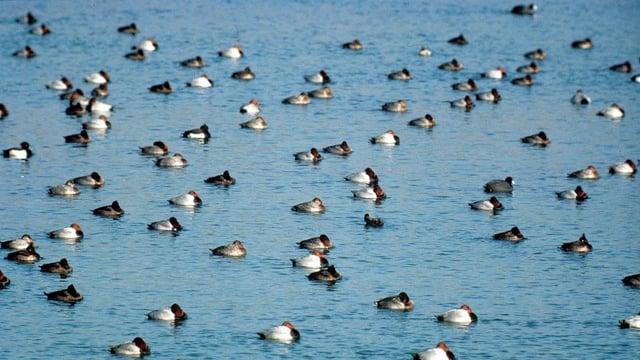 See mit überwinternden Enten