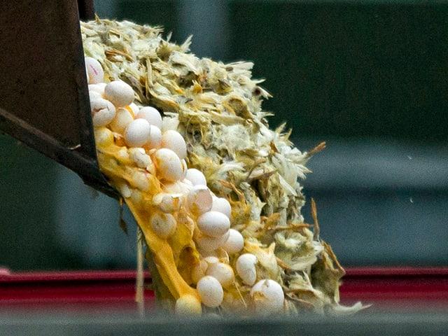 Eier und tote Küken werden von einem lastwagen geleert.
