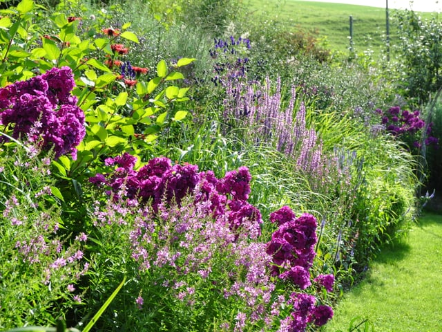Violette Pflanzen