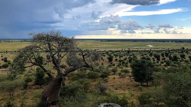 Blick in die Savanne Botswanas. Im Vordergrund ein Brotbaum. Über allem ein wolkiger Himmel.