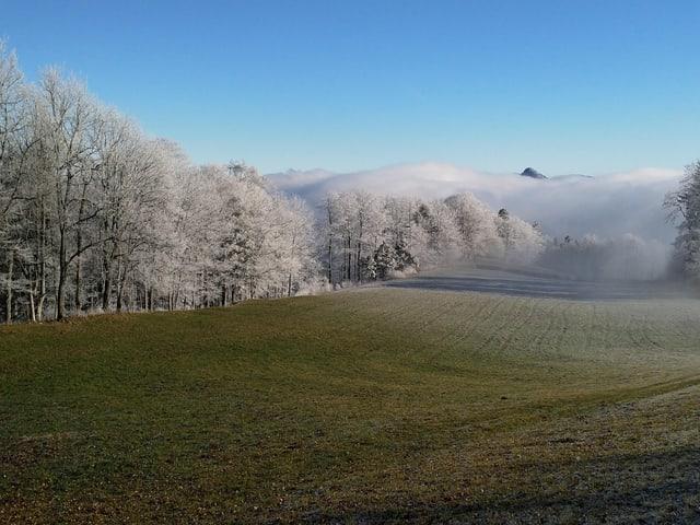 Weisse Bäume vor dem Nebel