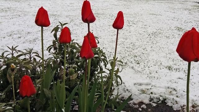 Im Vordergrund rote Tulpen, dahinter ein weisser Rasen. (SRF Augenzeuge / Salera Sisto)