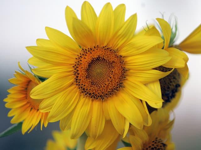 Sonnenblumenkerne enthalten hochwertige Fettsäuren.