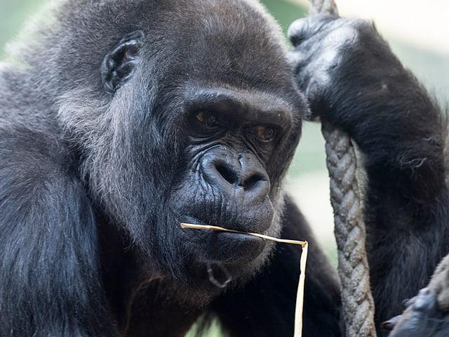 Goma hat einen Strohhalm im Mund und hält sich an einem Seil fest.