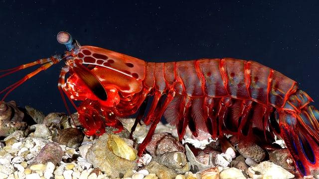 Das Foto zeigt einen Fangschreckenkrebs am Meeresboden.