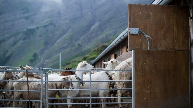 Ziegen warten am Stalleingang