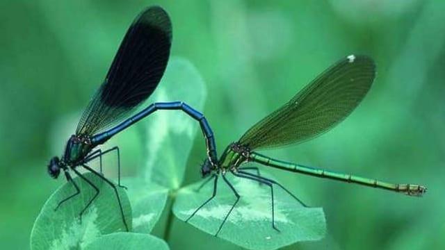 duas libellas verdas sin in traifigl verd