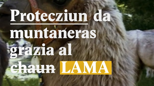 Laschar ir video «Lama vs. luf»
