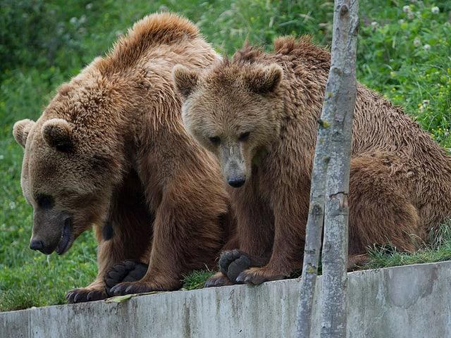 Zwei Bären sitzen auf einer Mauer und schauen herunter.