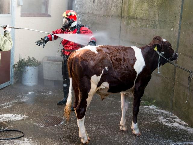 Stier und Feuerwehrmann beim Duschen.