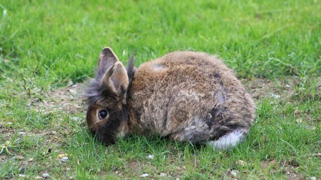 Zwerghase Max sitzt zusammengekauert im Gras.