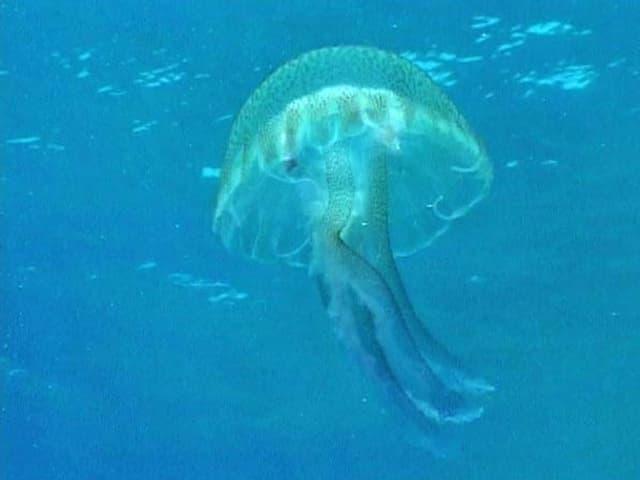 Leuchtqualle im Meer