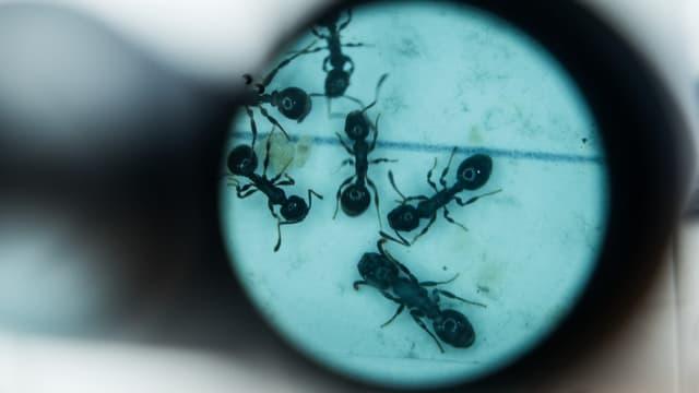 Ameisen durch das Mikroskop betrachtet.