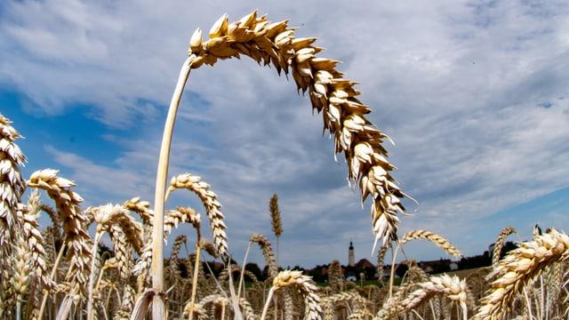 Eine Ähre auf einem Weizenfeld.