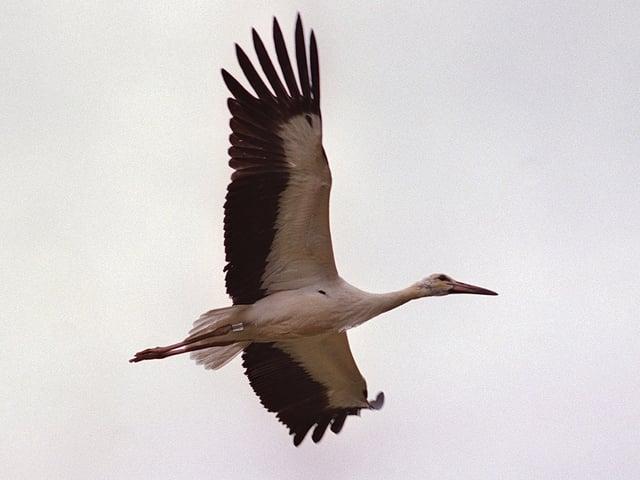 Storch im Flug