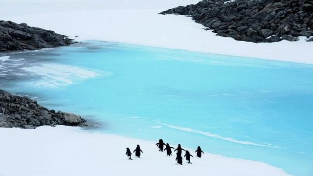 Purtret d'intgins pinguins tranter greppa sper la mar.
