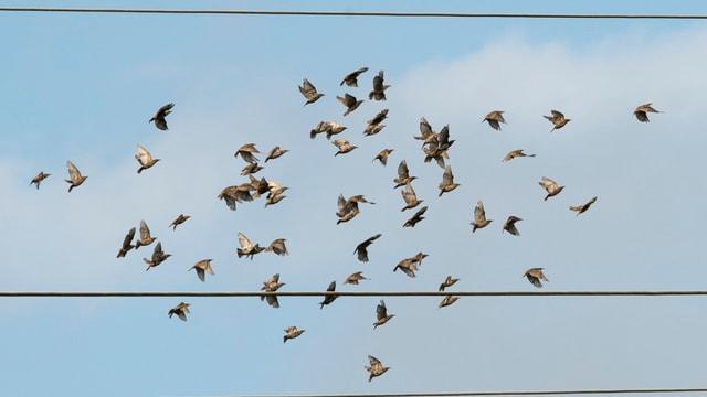 Stare fliegen in Schwärmen an einer Hochspannungsleitung vorbei, aufgenommen am Montag, 4. August 2014, in Holzigen AG. Die Zugvoegel warten aufgeregt auf ihren Flug nach Sueden.