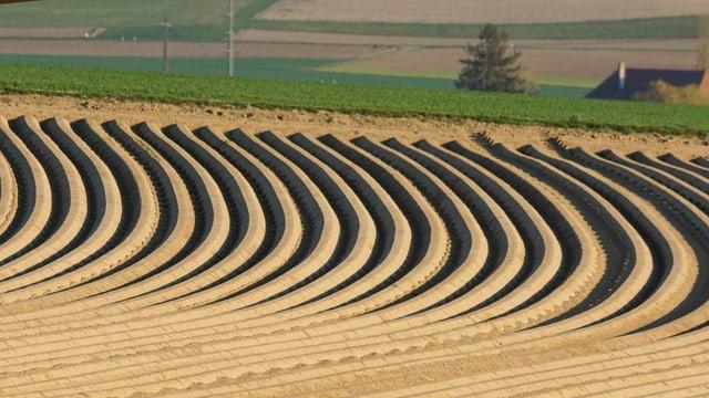Die Kartoffelfurchen auf dem Ackerfeld zeigen ein schönes und schwungvolles Bild.