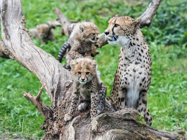 Eine Gepardenmutter mit zwei Gepardenkindern auf einem Baum.