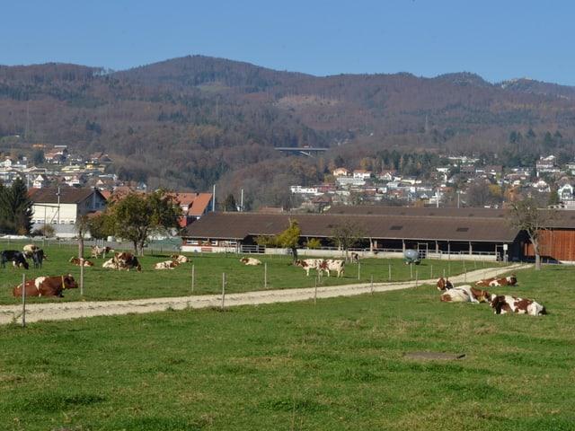 Landwirtschaftsfeld mit Kühen, dahinter ein Bauernhof