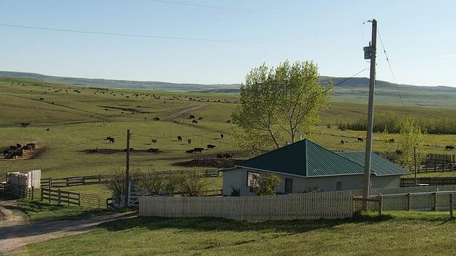 Rinder, Cowboys und eine Farm.