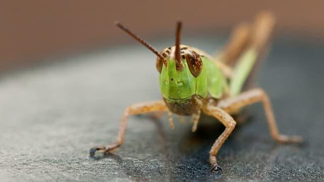 Eine grüne Heuschrecke.