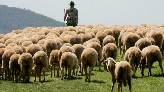 Ein Hirte läuft mit seiner Herde Schafe über eine Wiese.