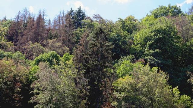 Ein Mischwald mit einigen verdorrten Laub- und Nadelbäumen