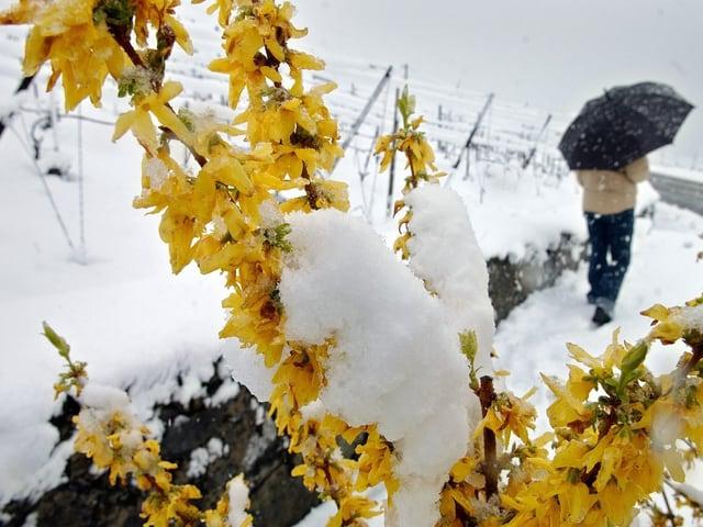 Dicke Schneeschicht auf einer Forsythie, ein Mann mit Schirm.