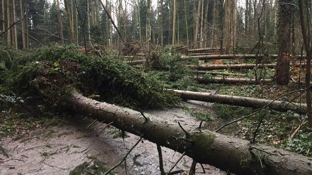Reihenweise umgestürzte Bäume am 4. Januar in Hünenberg/ZG.